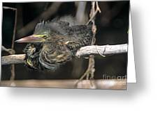 Baby Green Heron Resting On A Branch Greeting Card