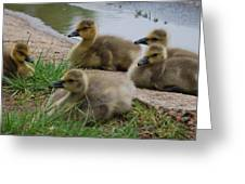 Baby Honkers Greeting Card