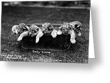 Baby Lions, C1900 Greeting Card