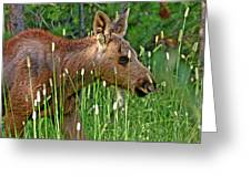 Baby Moose Greeting Card