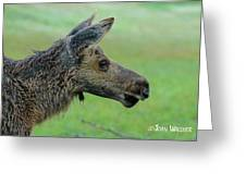 Baby Moose With Dew Greeting Card