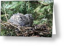 Baby Morning Dove Greeting Card