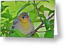 Baby Oriole Greeting Card