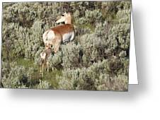 Baby Pronghorn Feeding Greeting Card