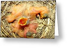 Baby Robins Newly Hatched Greeting Card