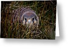 Baby Sage Grouse 2 Greeting Card