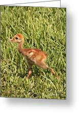 Baby Sandhill Crane Greeting Card
