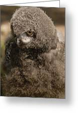 Baby Snowy Owl Greeting Card