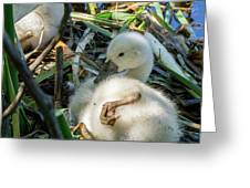Baby Swan Resting Greeting Card