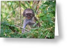 Baby Vervet Monkey Greeting Card