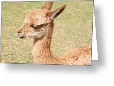 Baby Vicuna Greeting Card
