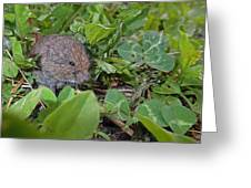 Baby Vole Greeting Card