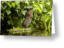 Baby Water Vole Stretching Up Greeting Card