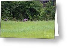 Baby Wild Turkeys Greeting Card