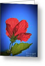 Back Lighting The Red Hibiscus  Greeting Card