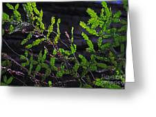Back-lit Conifer Branches Greeting Card