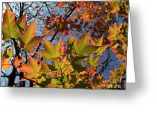 Back-lit Sugar Maple Leaves From Below Greeting Card