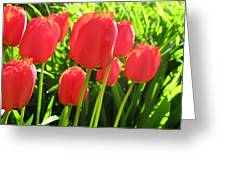 Back Lit Tulips 2 Greeting Card