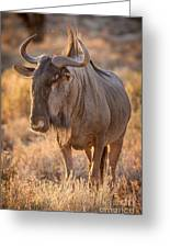 Backlight Wildebeest Greeting Card