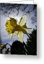 Backlit Daffodil Greeting Card