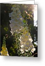 Backlit Foxgloves Greeting Card