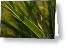 Backlit Iris Bud In Evening Greeting Card