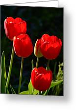 Backlit Red Tulips Greeting Card