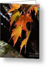 Backlit Sugar Maple Leaves With Trunk Greeting Card
