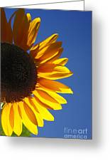 Backlit Sunflower Greeting Card