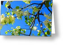 Backlit White Tree Blossoms Greeting Card