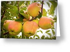 Backyard Garden Series - Apples In Apple Tree Greeting Card