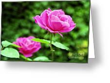 Backyard Rose Greeting Card