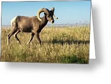 Badlands Ram Greeting Card