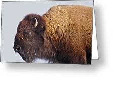 Baffalo Greeting Card