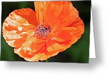 Bailey's Poppy Greeting Card