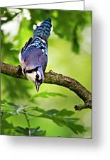 Balanced Blue Jay Greeting Card