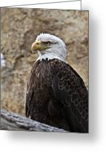 Bald Eagle - Portrait 2 Greeting Card