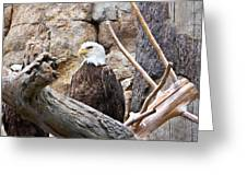 Bald Eagle - Portrait Greeting Card