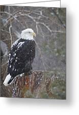 Bald Eagle 1 Greeting Card
