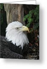 Bald Eagle #8 Greeting Card