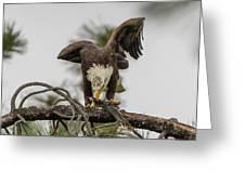 Bald Eagle Eating Fish Greeting Card