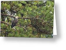 Bald Eagle In A Pine Tree, No. 4 Greeting Card