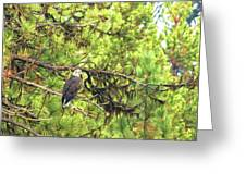 Bald Eagle In A Pine Tree, No. 5 Greeting Card