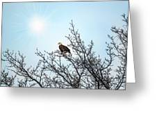 Bald Eagle In A Tree Enjoying The Sunlight Greeting Card