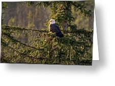 Bald Eagle In Pine Greeting Card