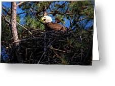 Bald Eagle In The Nest Greeting Card