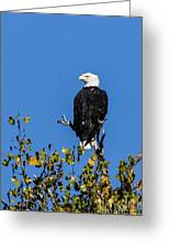 Bald Eagle In The Tree Greeting Card