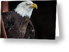 Bald Eagle Intensity Greeting Card