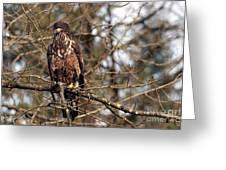 Bald Eagle Juvenile 2 Greeting Card