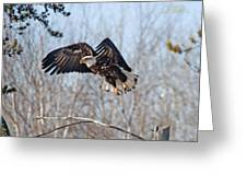 Bald Eagle Near Itasca Greeting Card